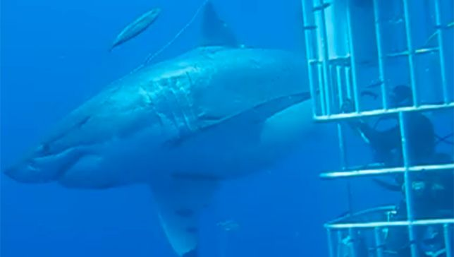 Biggest-Great White Filmed